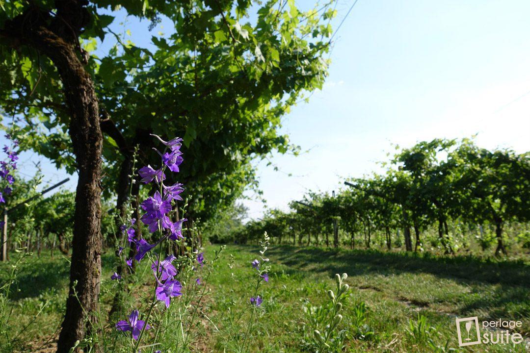 vini biologici lazzari vini