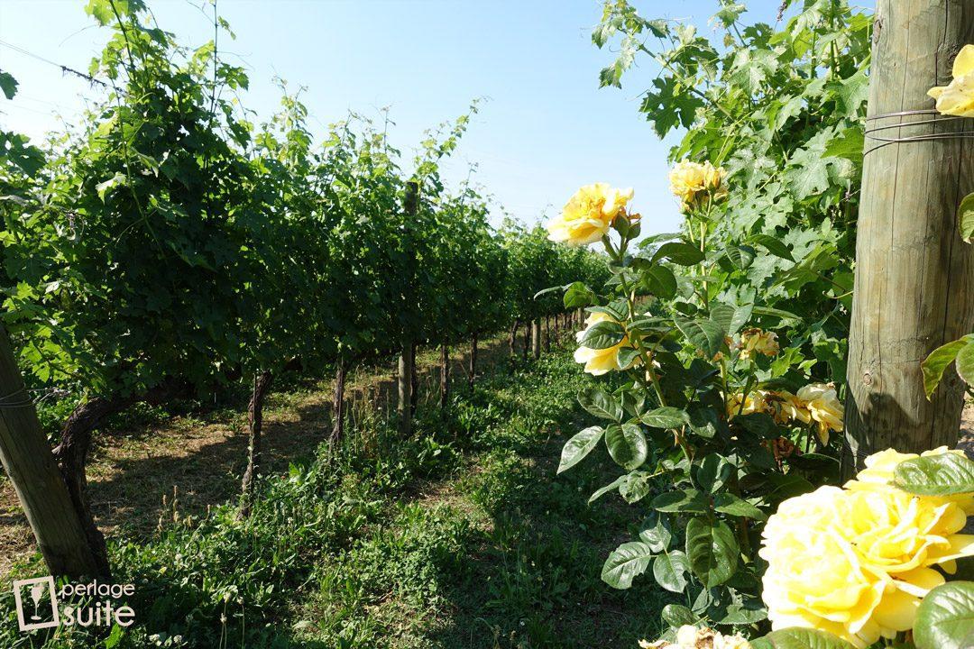 vini biologici vigneti lazzari