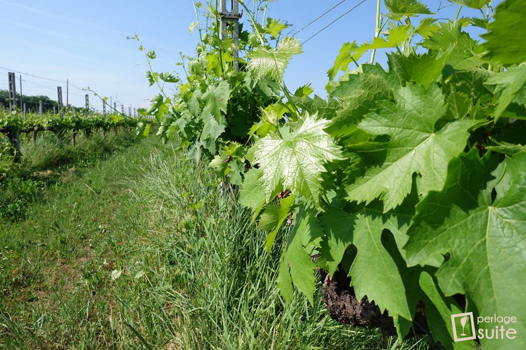vini biologici gelata vigneti lazzari