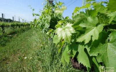 Vite: Coltivazione della vitis vinifera