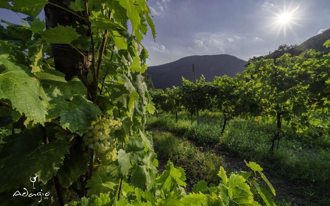La vigna: vitigno, portainnesto, ambiente pedoclimatico, terreno e tecniche colturali