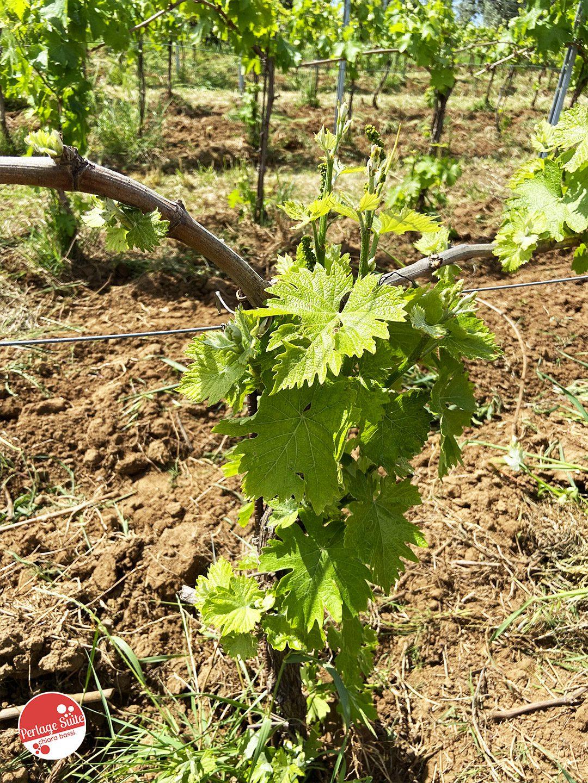 podere conca vino bolgheri vini toscani